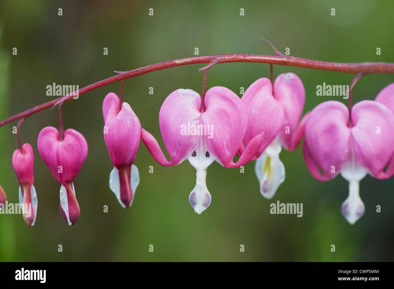 Bleeding heart flowers - Stock Image