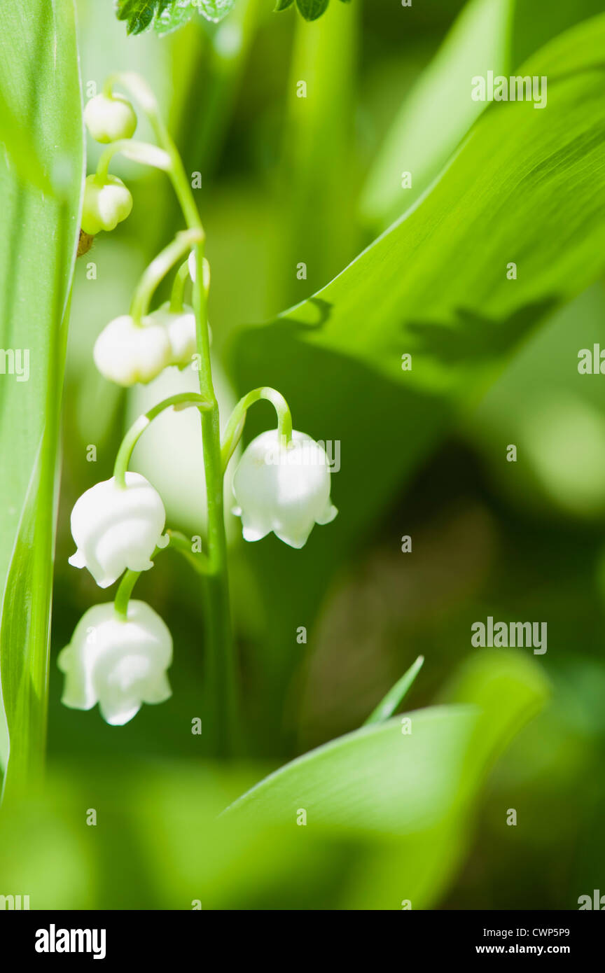 Lily of the valley flowers - Stock Image