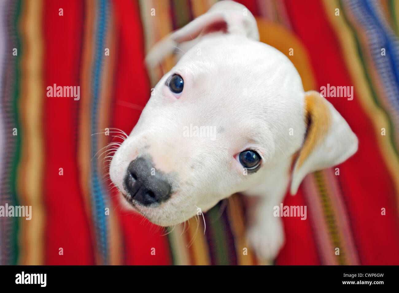 American Staffordshire Terrier dog - Stock Image