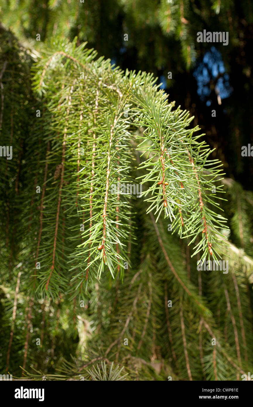 Brewers spruce Picea breweriana considered one of the most attractive conifers in the world - Stock Image