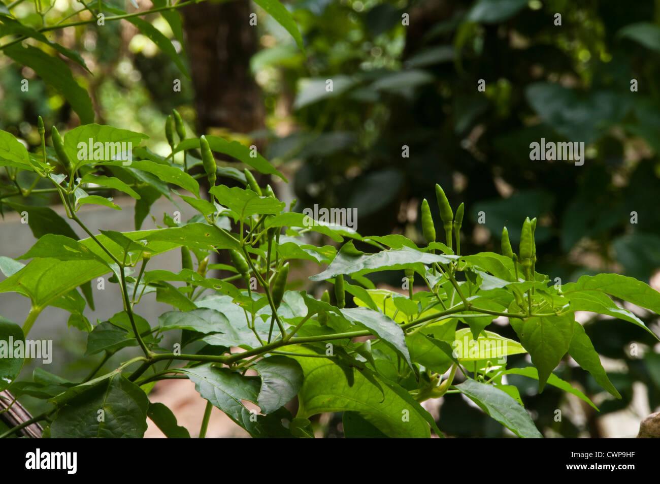 Bird's eye chili or Thai chili plant - Stock Image