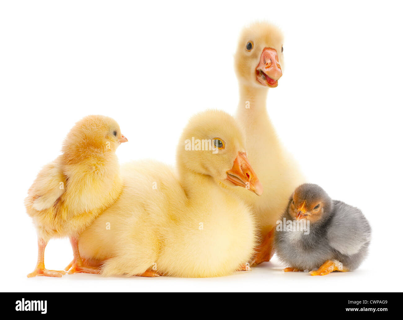 Young goose and chick isolated on white - Stock Image
