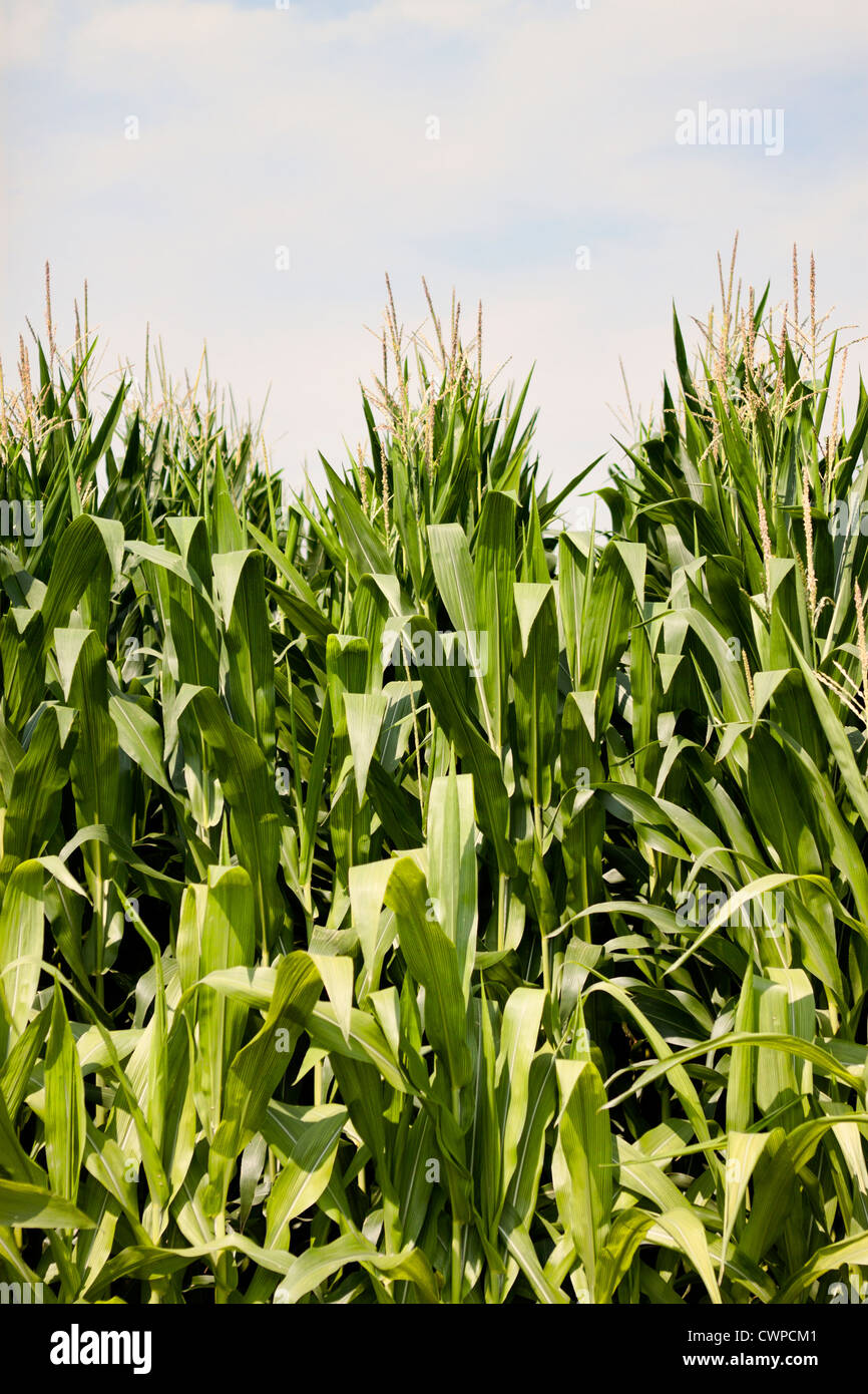 Corn stalks just beginning to tassle in the North Carolina sun. Young ears of corn with golden silk are visible - Stock Image
