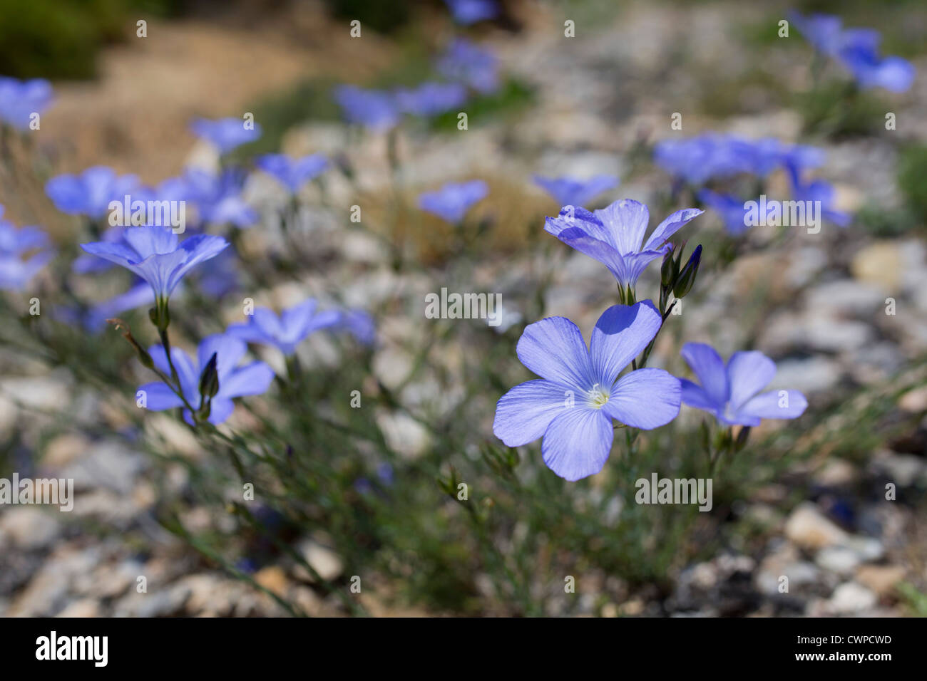 Perennial Flax; Linum perenne; Pyrenees; Spain - Stock Image