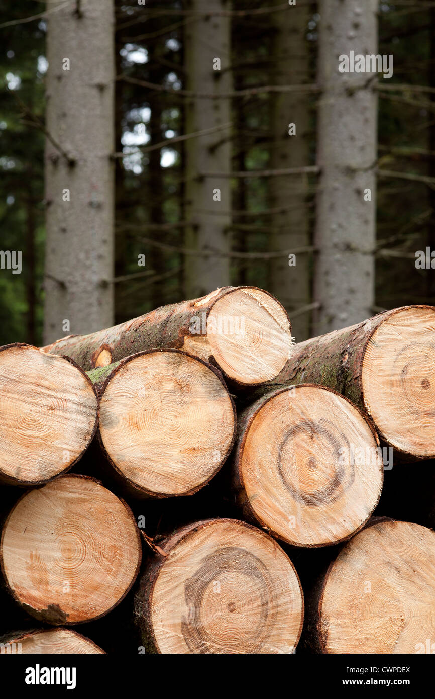 felled stems of trees in coniferous forest - Stock Image