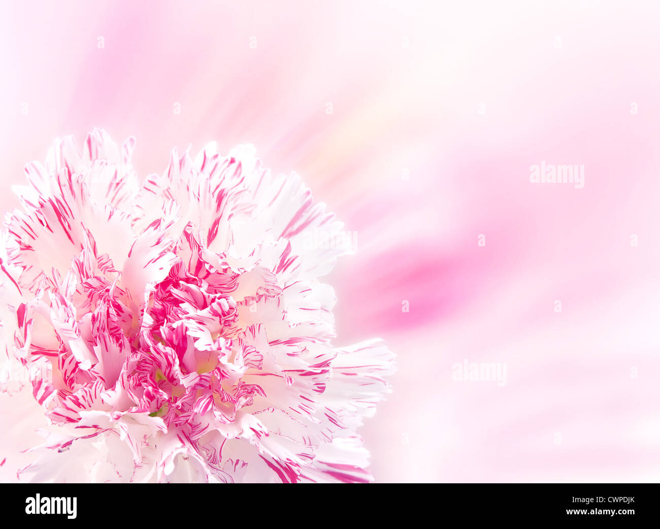 Pink carnation flower closeup background - Stock Image