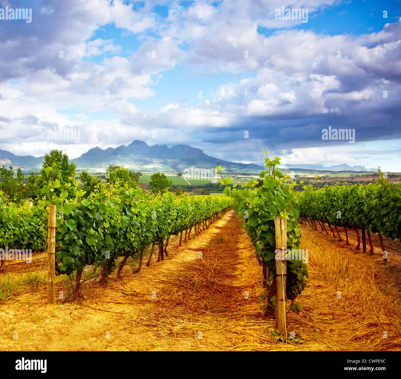 Picture of winery garden, blue sky, beautiful agricultural landscape, harvest season, grapes valley, field of fresh - Stock Image