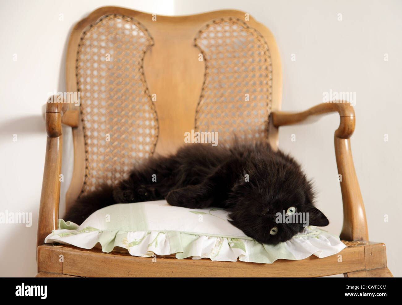 Long haired cute black cat lying on a cushion, upon a chair. - Stock Image
