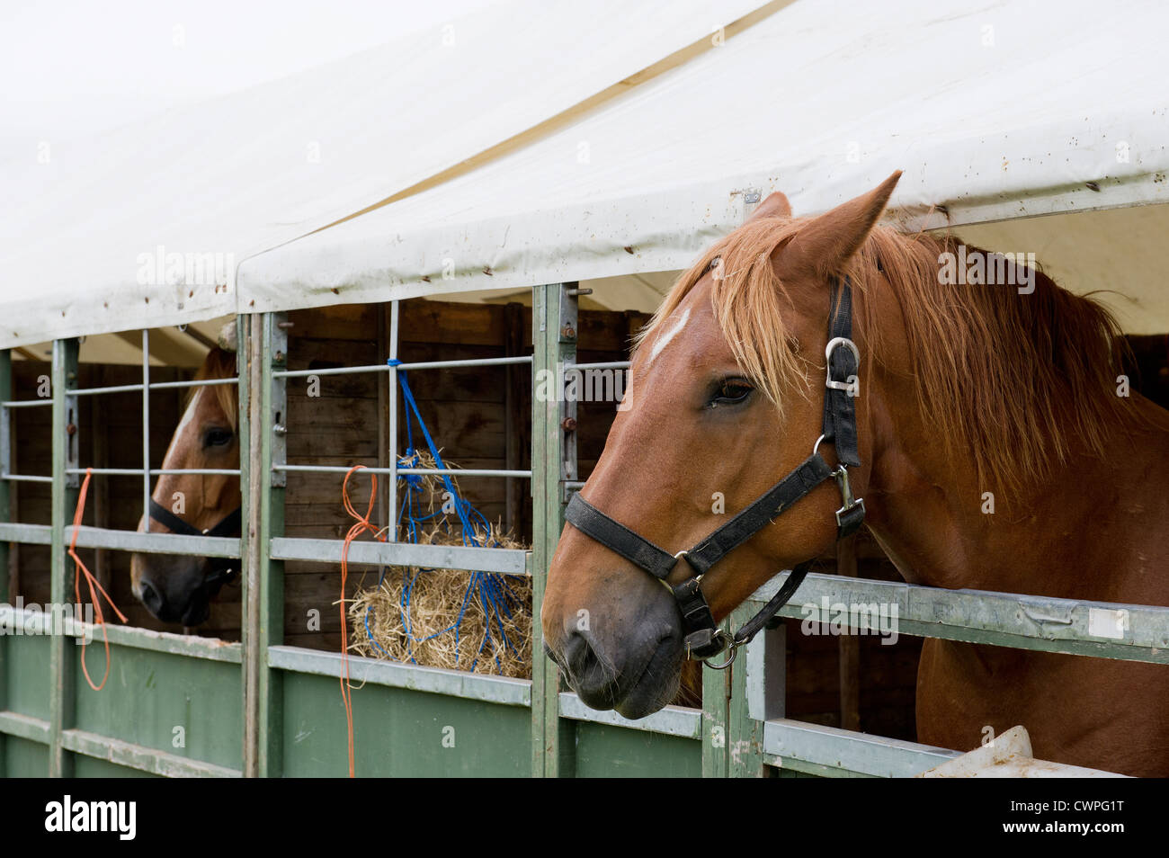 Horses in temporary stables at the Orsett Show in Essex - Stock Image