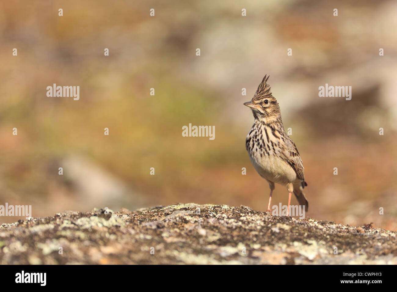 Crested Lark (Galerida cristata) perched on a stone. Extremadura. Spain. Stock Photo