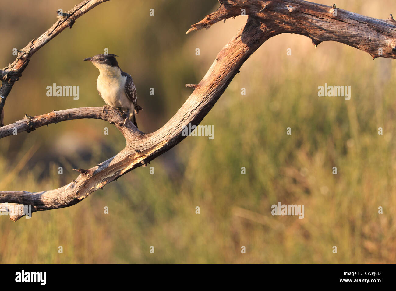 Great Spotted Cuckoo (Clamator glandarius) perched in branches. Extremadura. Spain. - Stock Image