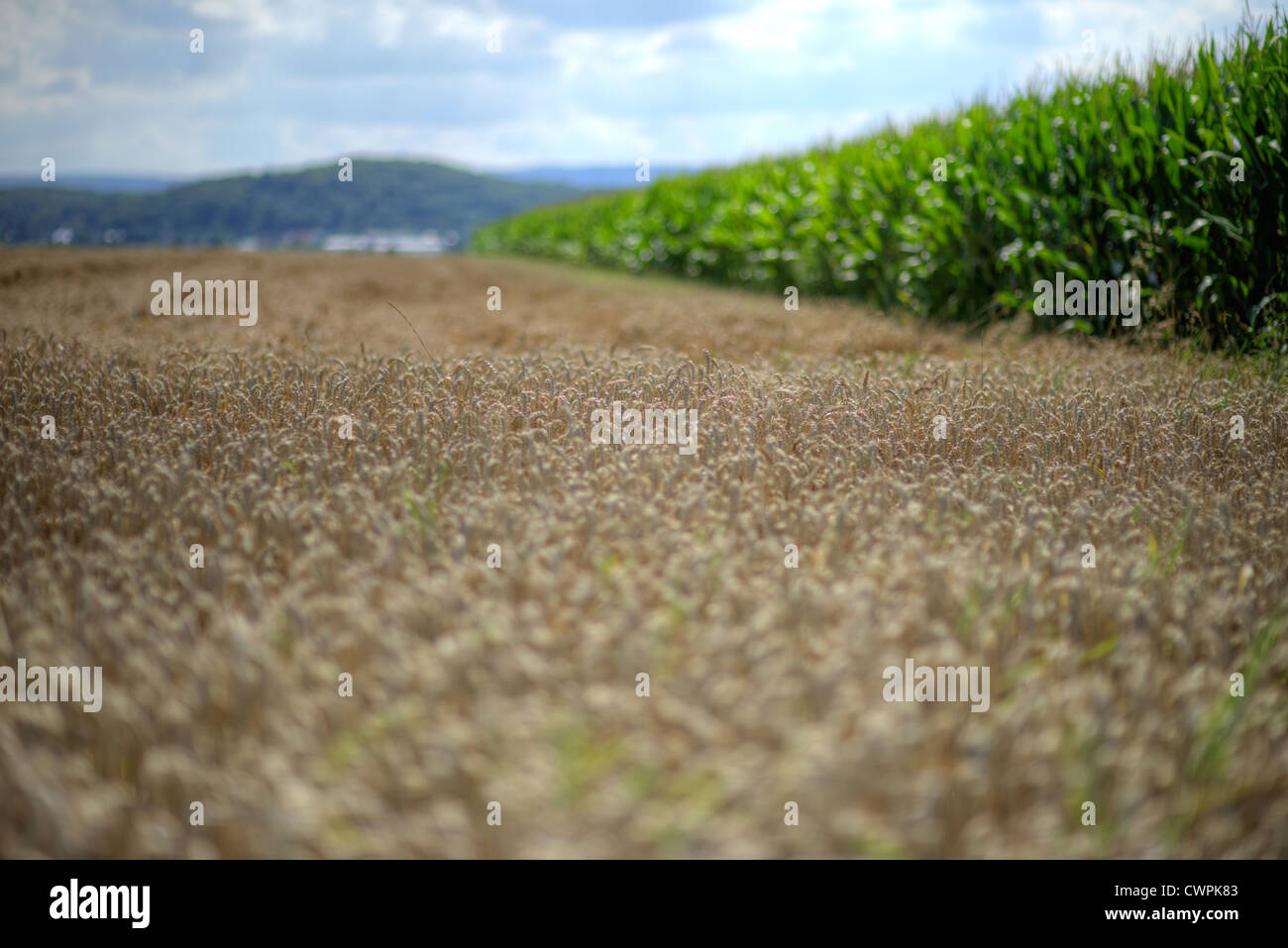 Wheat field, corn field and summer sky - Stock Image