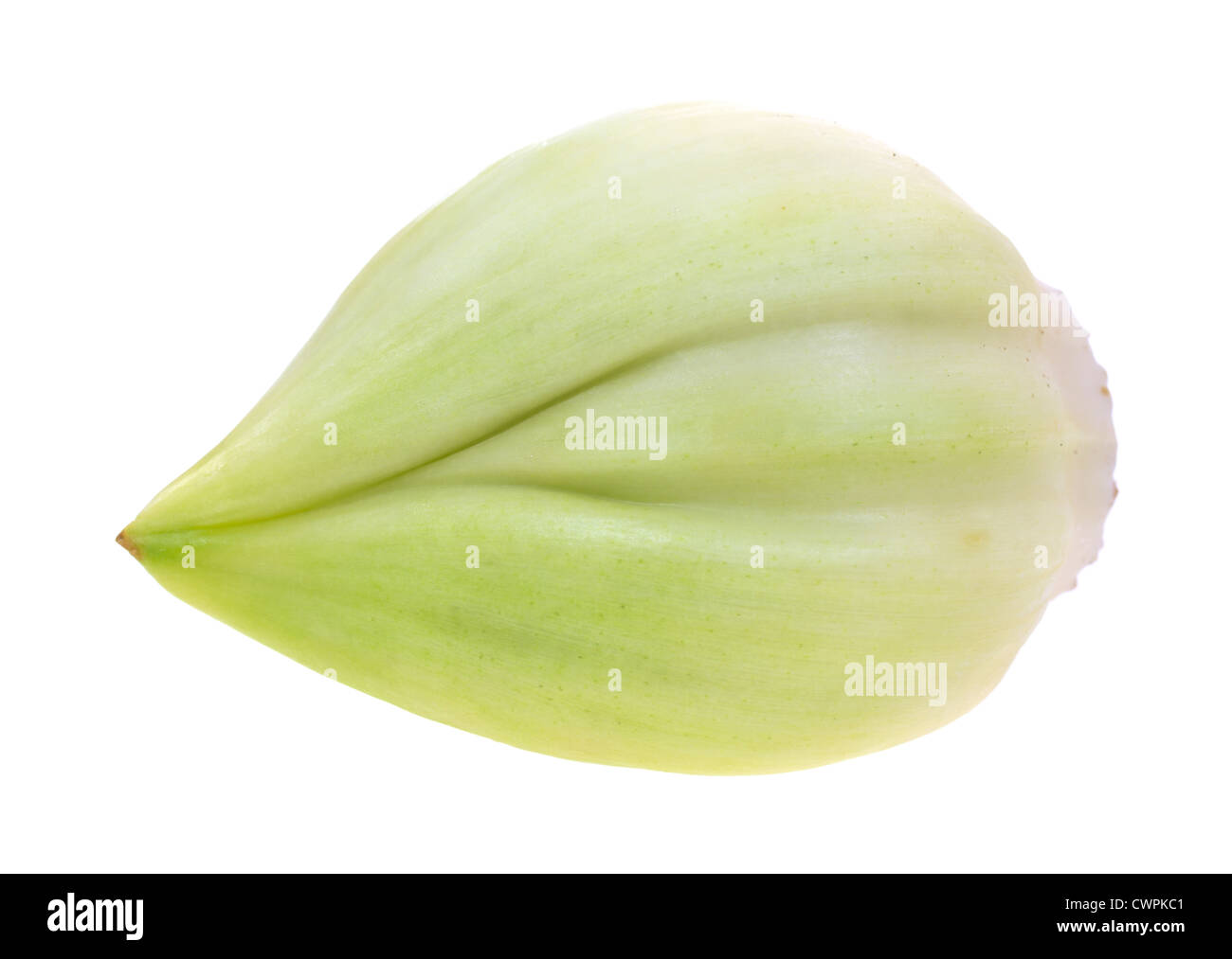 A single large elephant garlic clove on a white background. - Stock Image