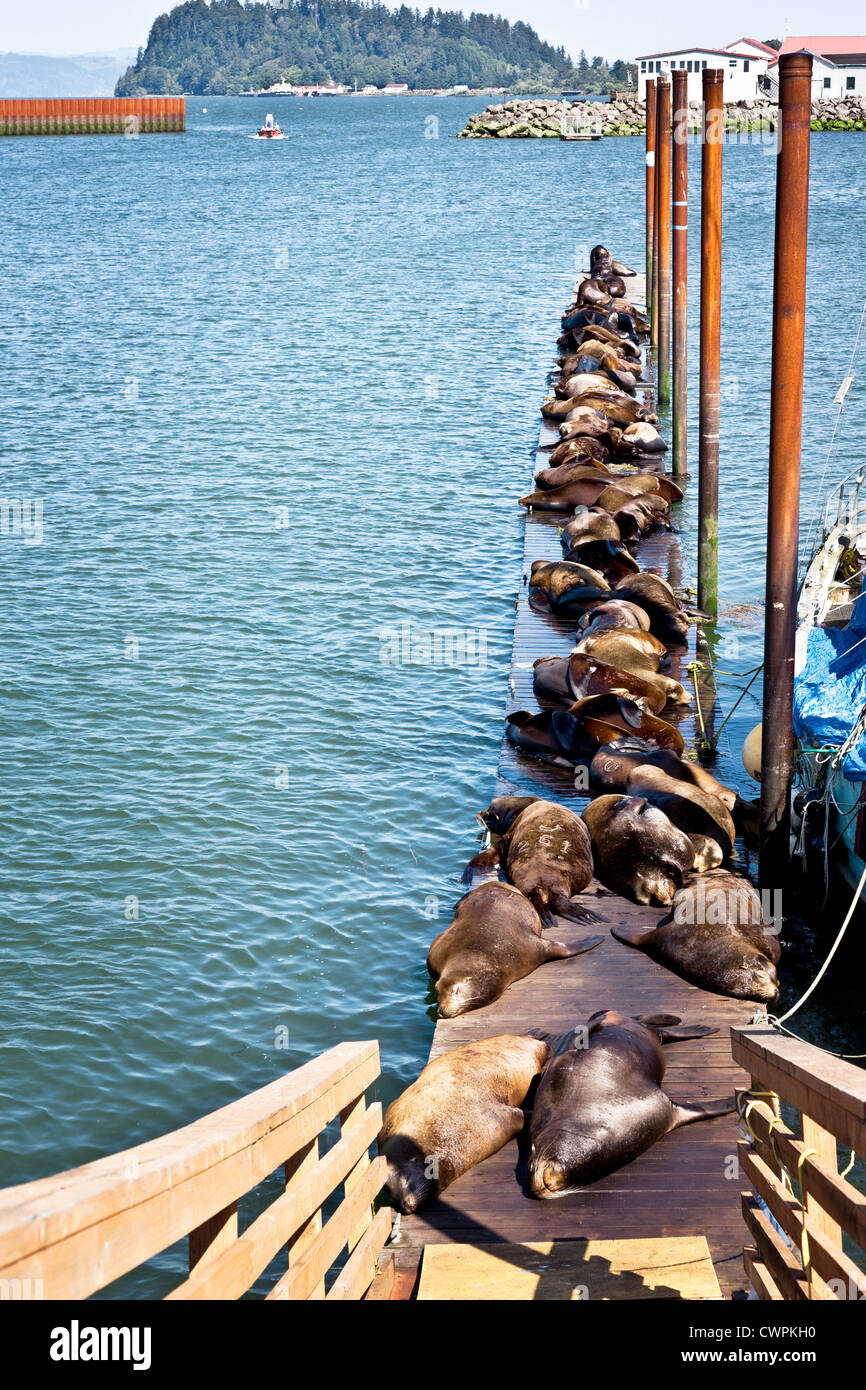 crowd lazy sea lions sunning on floating pier dock in east mooring basin Astoria Oregon with breakwater & entrance - Stock Image