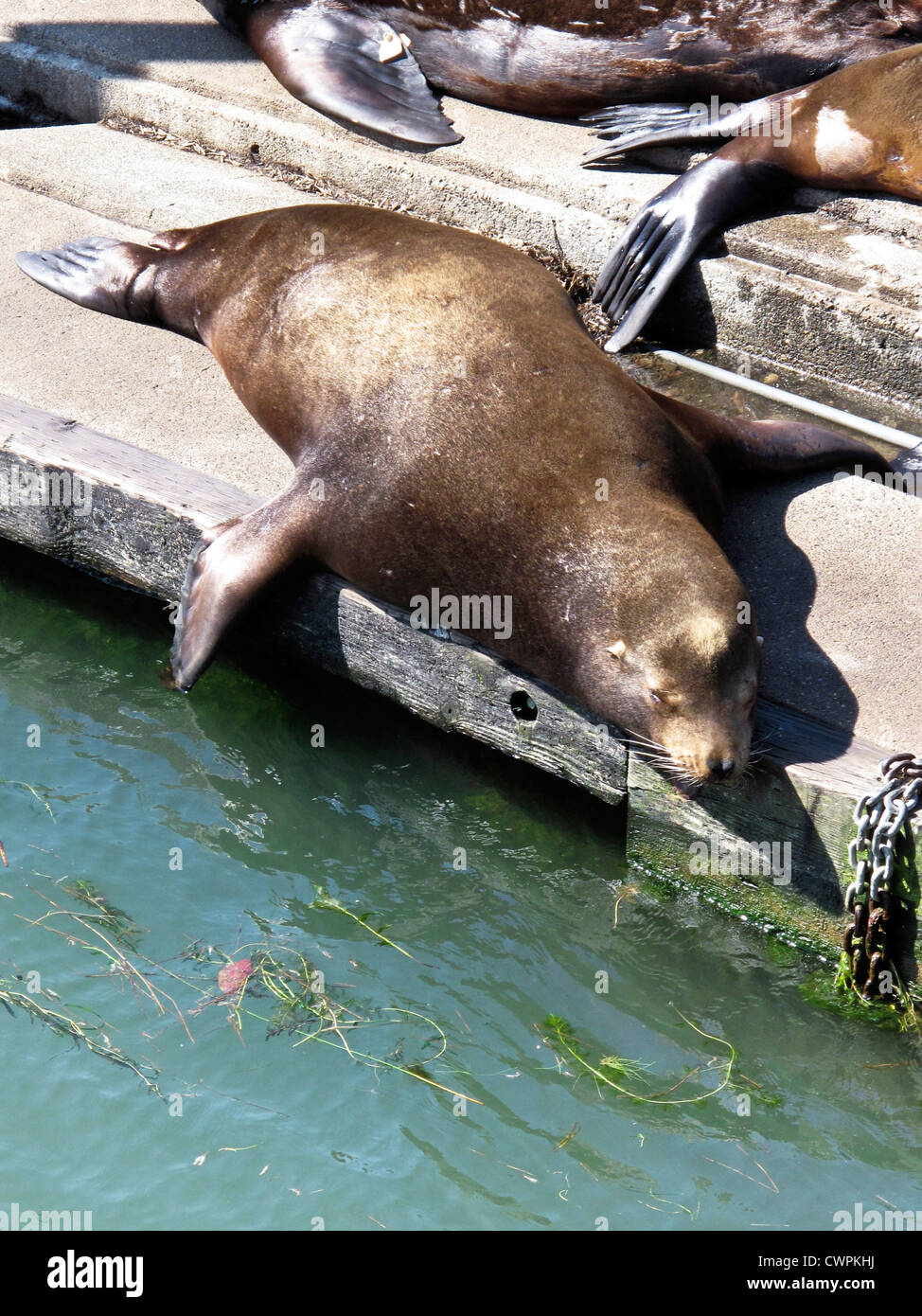 plump contented sea lion snoozing in sun on floating pier at south mooring basin Astoria waterfront Oregon - Stock Image