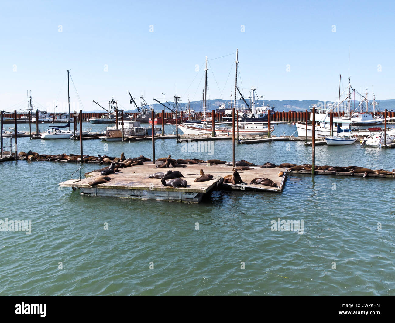 view of east mooring basin with commercial fishing boats & floating pier covered with supine sunning sea lions - Stock Image