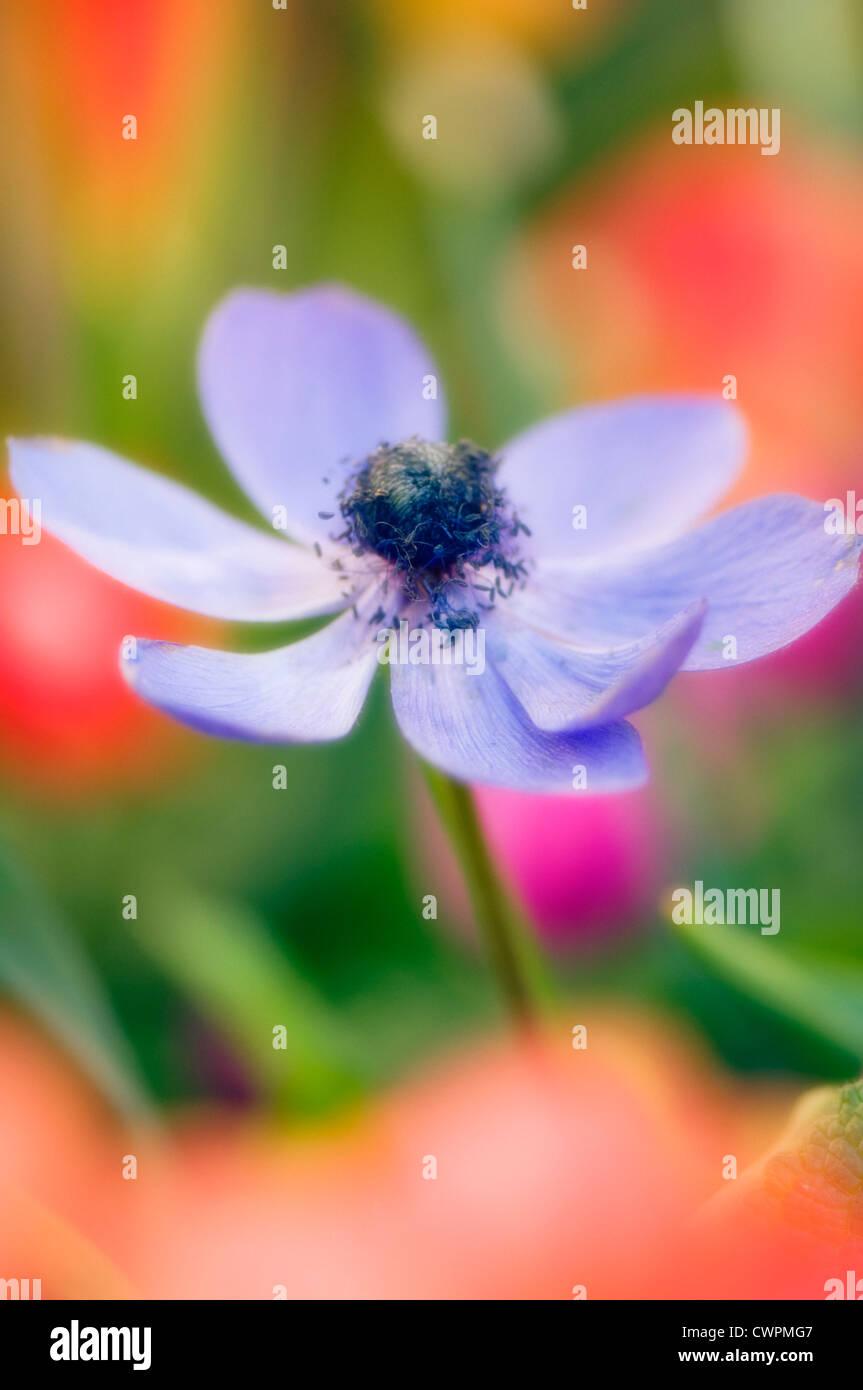 Anemone coronaria, Anemone Stock Photo