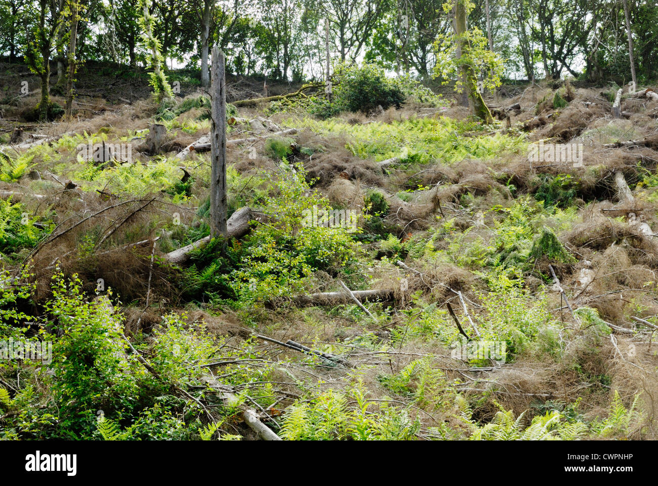 Ferns growing in Spring on land cleared as fell to waste, restoring conifer forest to Semi Natural woodland, Wales. - Stock Image