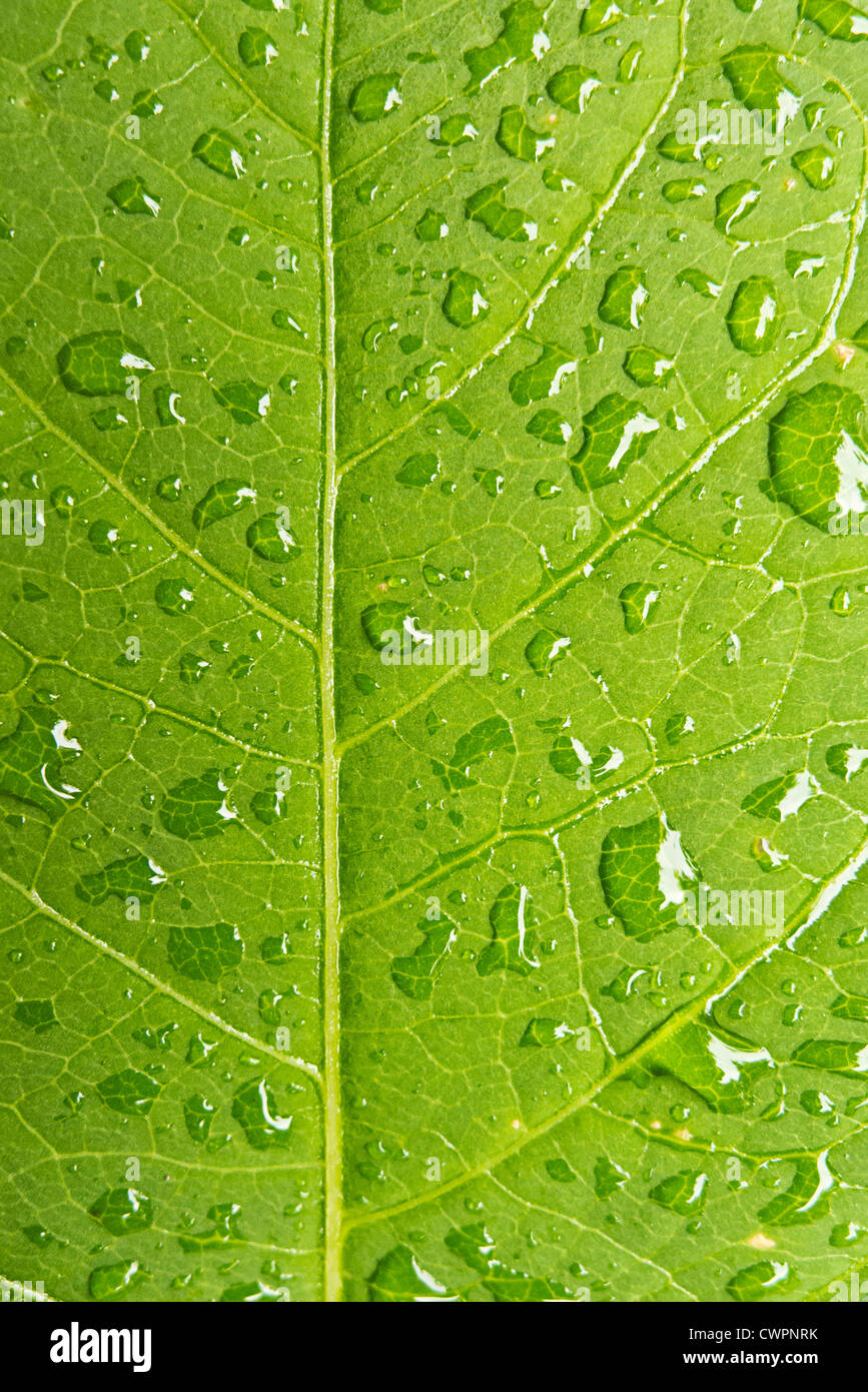 macro of a leaf with drops of water Stock Photo