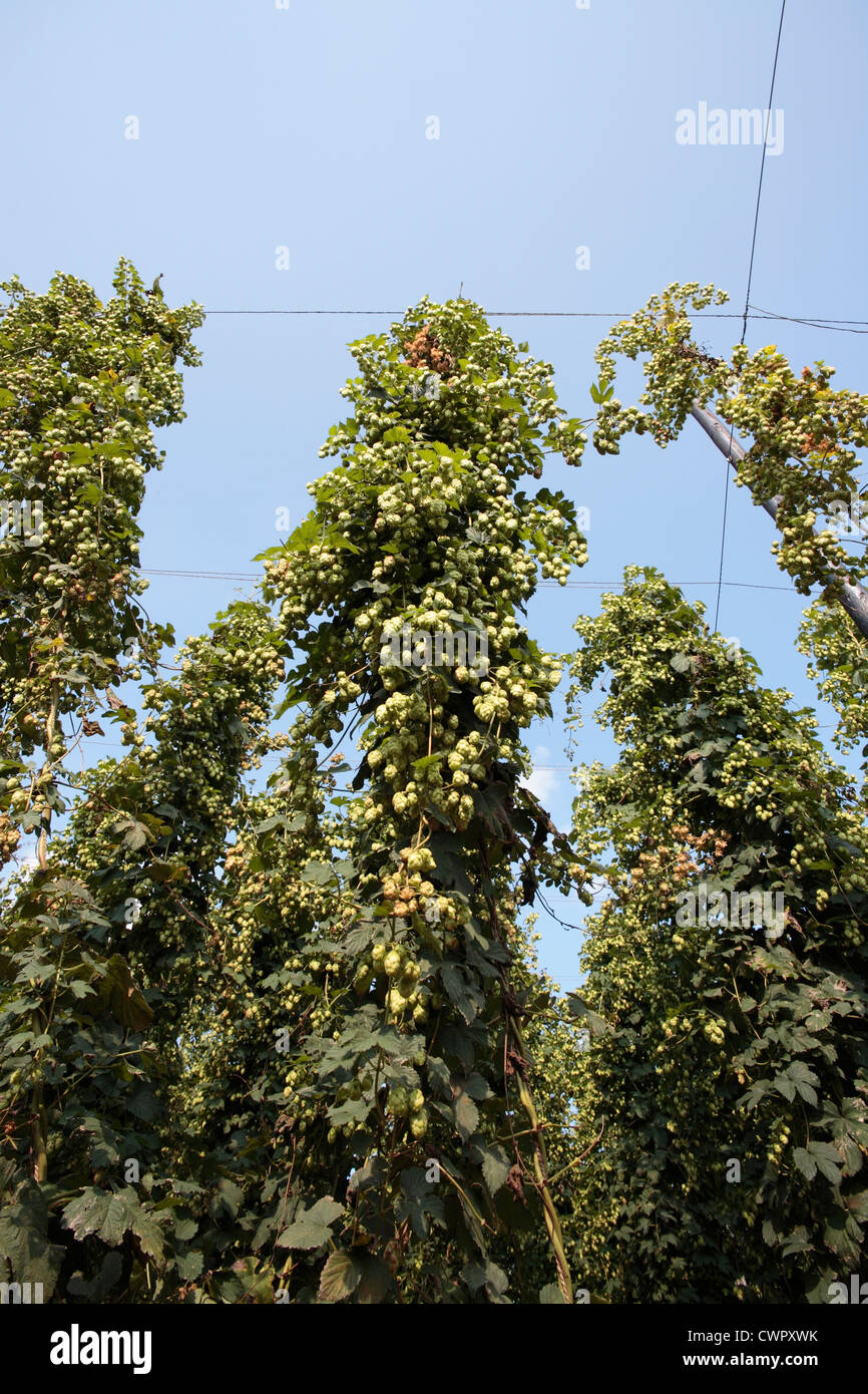 Hop bines growing in Kent Stock Photo
