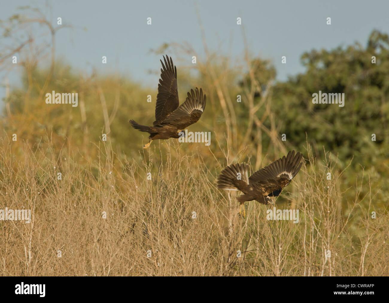 Marsh Harriers together Circus aeruginosus Stock Photo