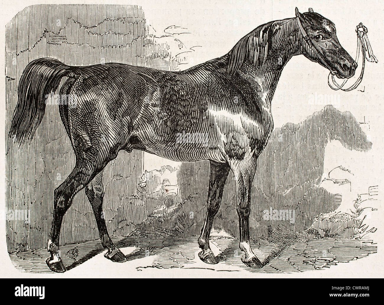 Norman horse in 1852 - Stock Image