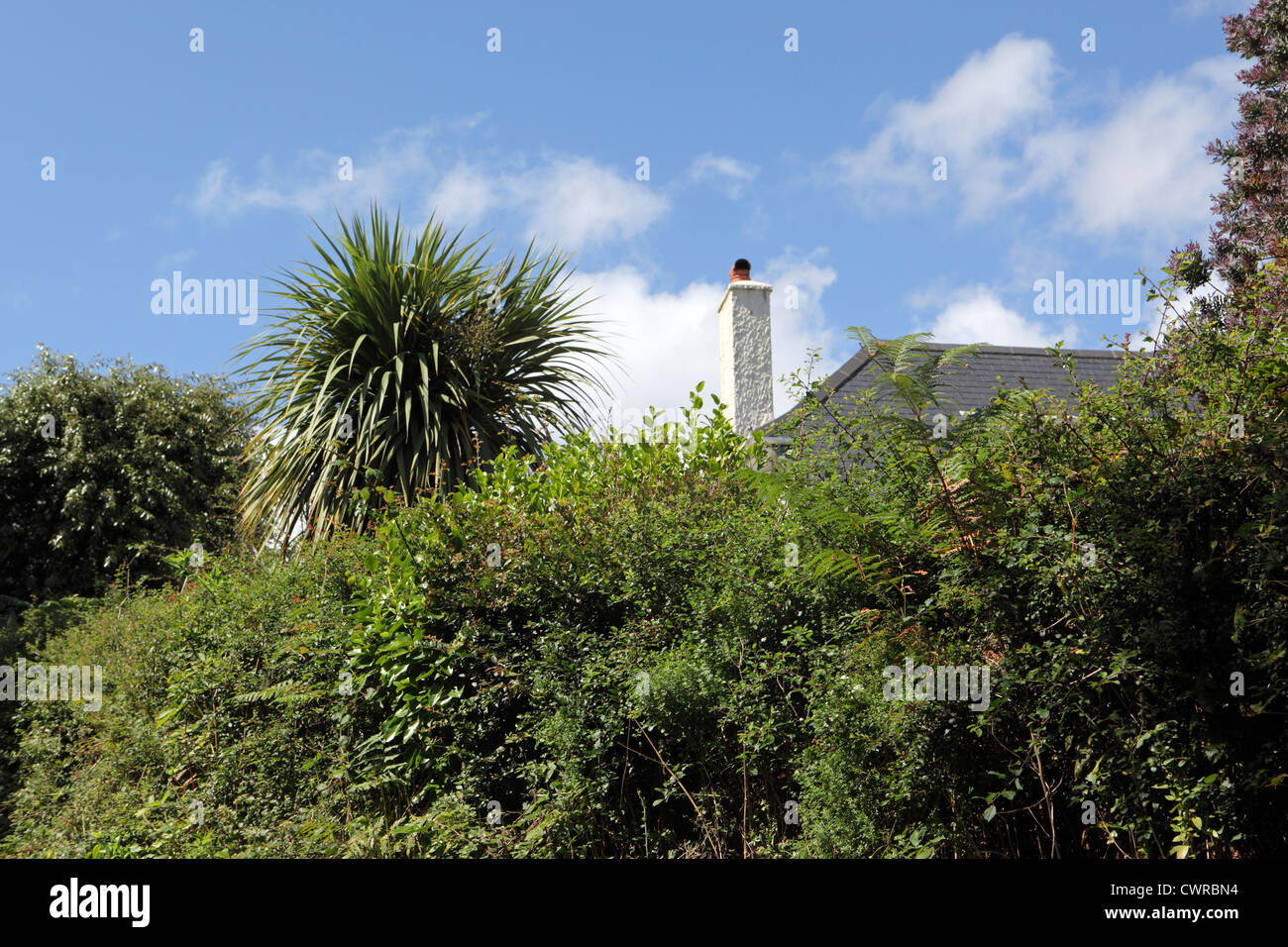 Privacy, house home behind high overgrown hedge and Cornish palm. UK housing stock exterior blue sky sunny, Cornwall, - Stock Image