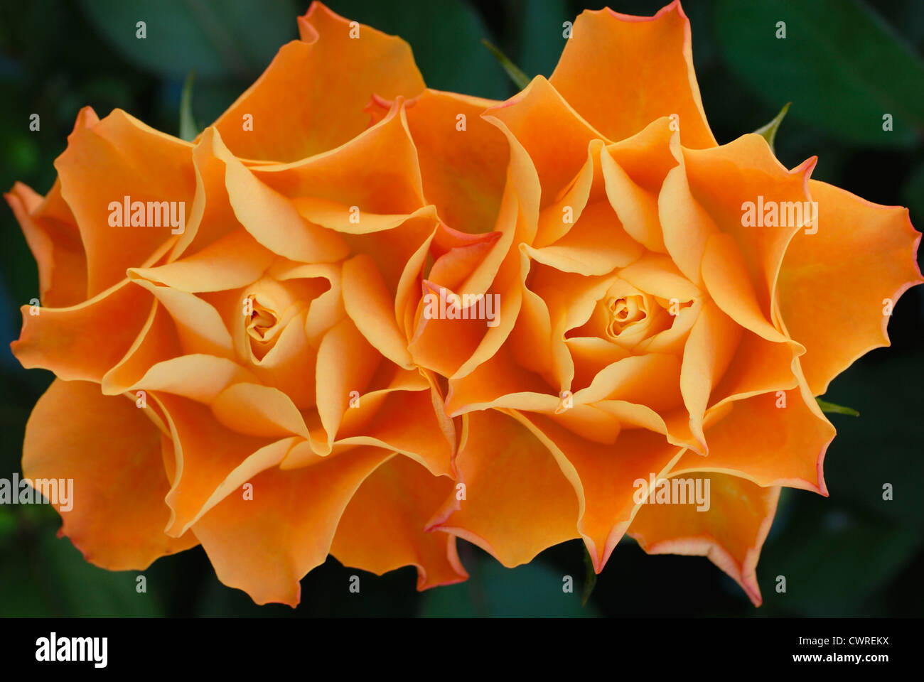 Rosa, Rose, two symmetric orange coloured flowers beside each other touching against a green background. - Stock Image