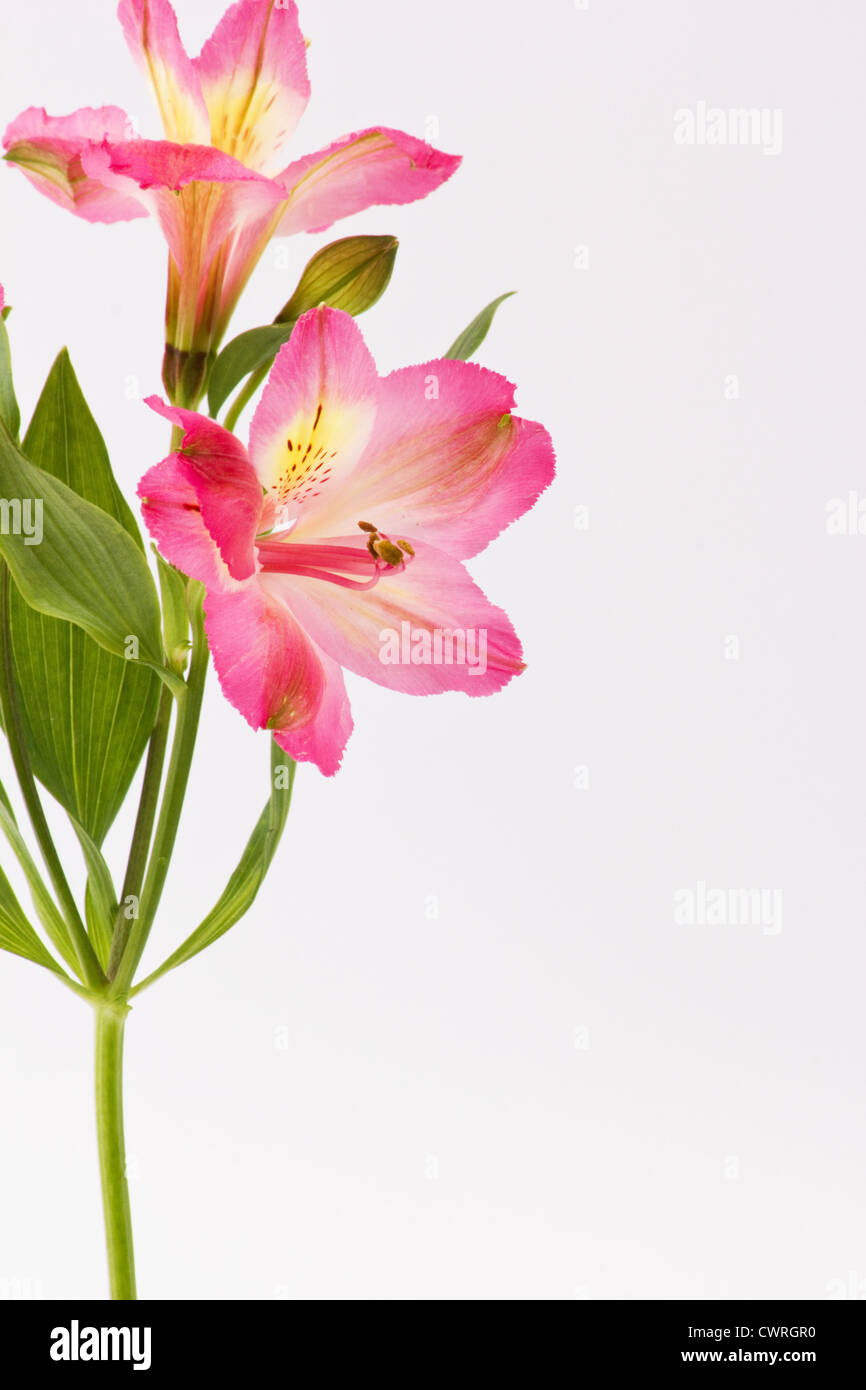 Pink freesia flowers on white background stock photo 50305220 alamy pink freesia flowers on white background mightylinksfo