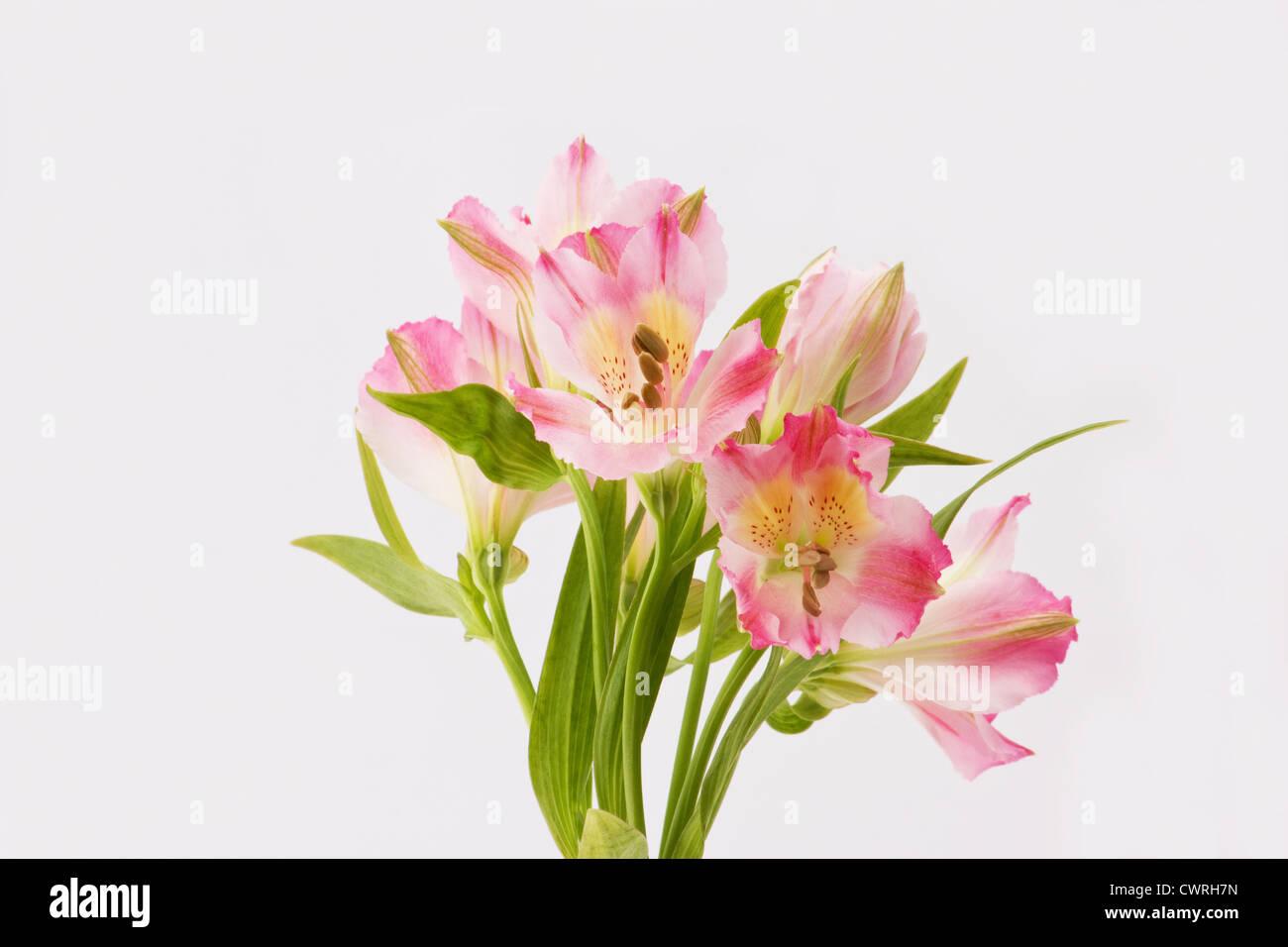 Pink freesia flowers on white background stock photo 50305577 alamy pink freesia flowers on white background mightylinksfo