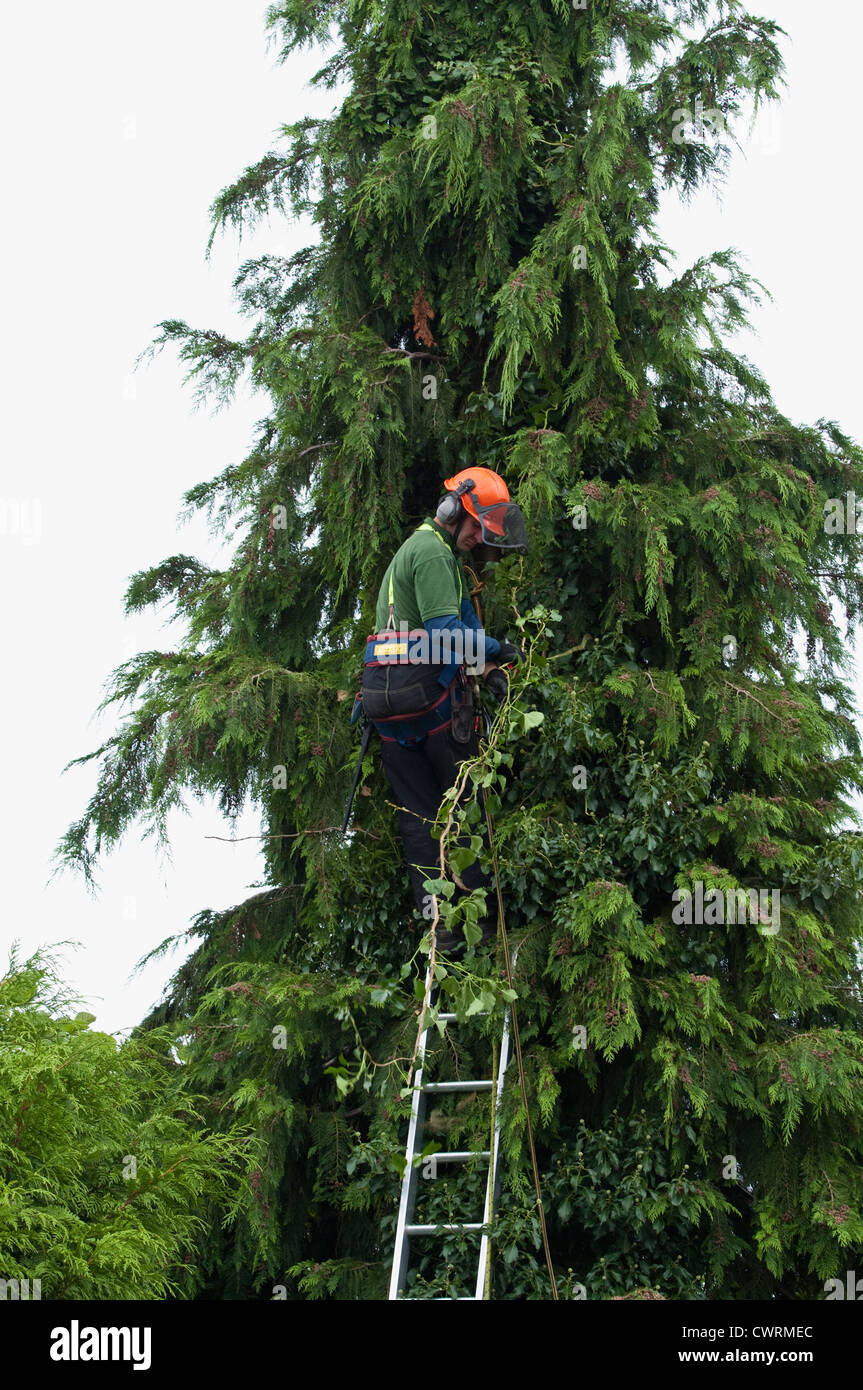 A professional tree surgeon wearing a harness and hat, safely removing ivy, from a tall conifer tree. UK. - Stock Image