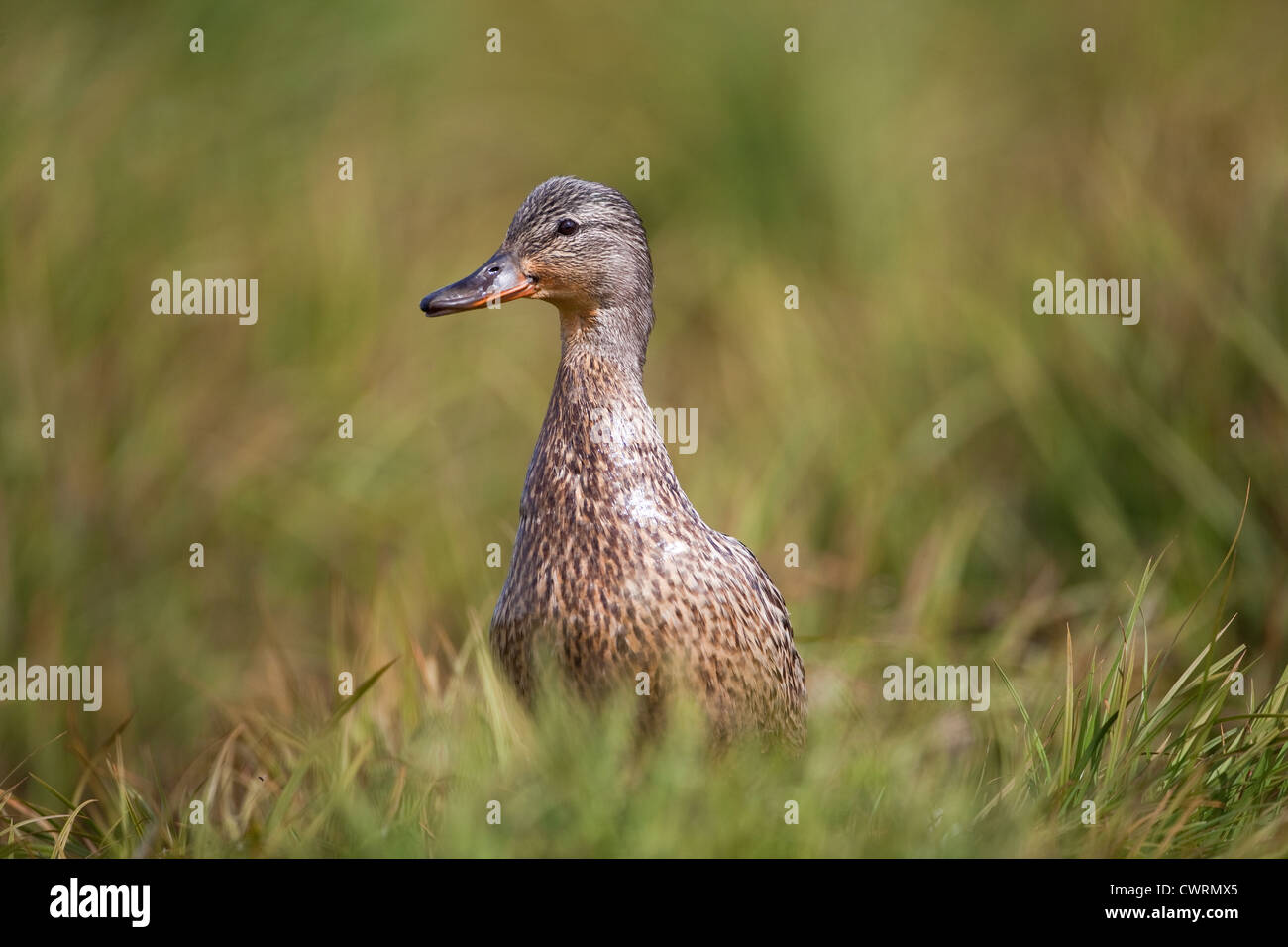 Female Mallard duck Anas Platyrhynchos close up in long grass - Stock Image