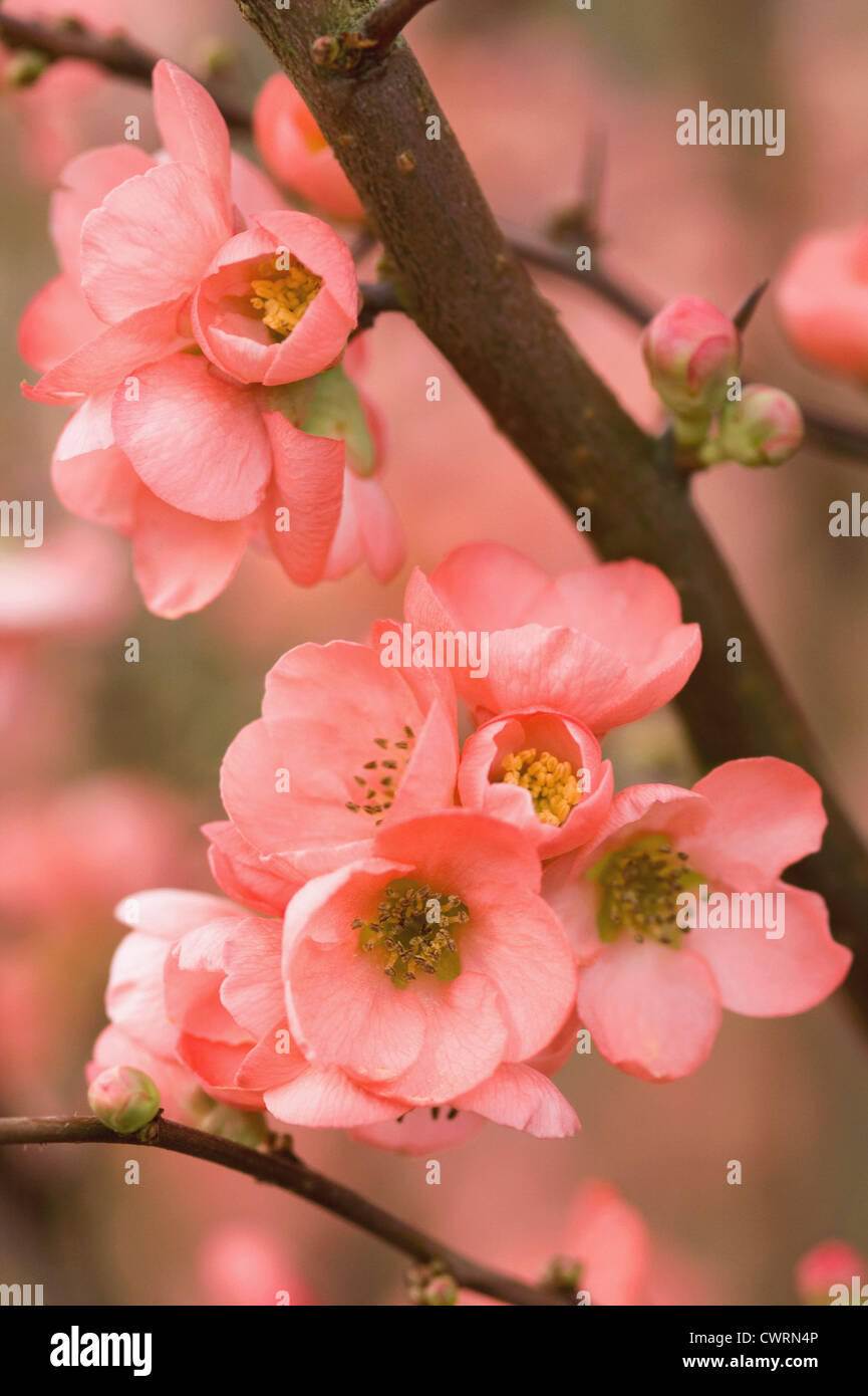 Chaenomeles x superba 'Coral sea', Quince. Abundant pink flowers in bloom on branches of the fruit tree. - Stock Image