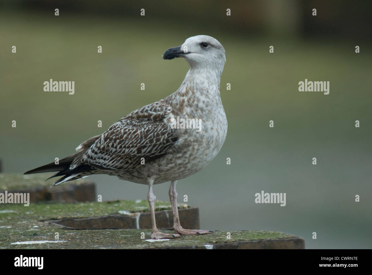 1st winter Great Black-backed Gull (Larus marinus) in Scarborough Harbour - Stock Image