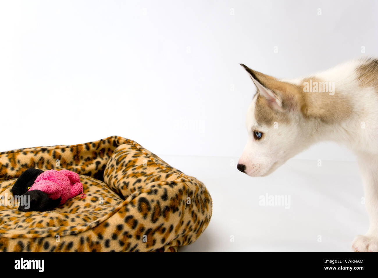 A cute young Husky dog puppy with piercing blue eyes inspecting his bed on a white seamless backdrop - Stock Image