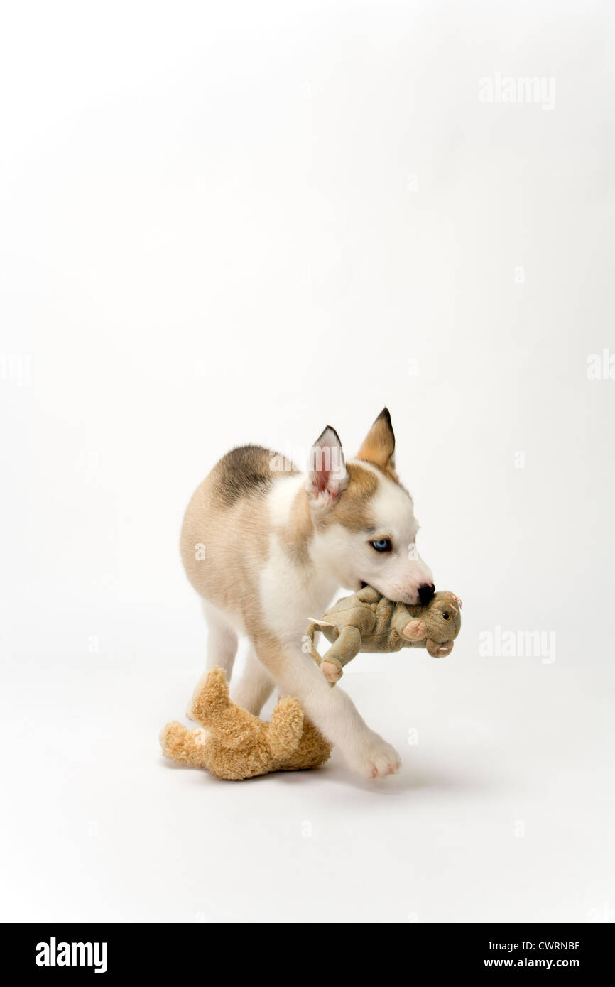 A cute young Husky dog puppy with piercing blue eyes walking purposefully away carrying a soft toy on a white seamless - Stock Image