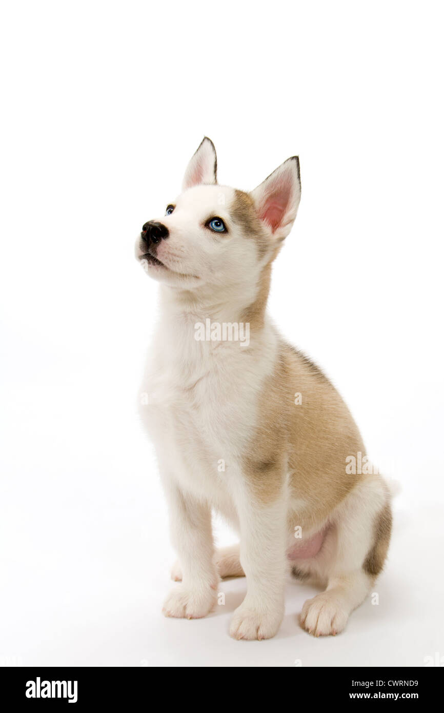 A cute young Husky dog puppy with piercing blue eyes sitting waiting obediently on a white seamless backdrop - Stock Image