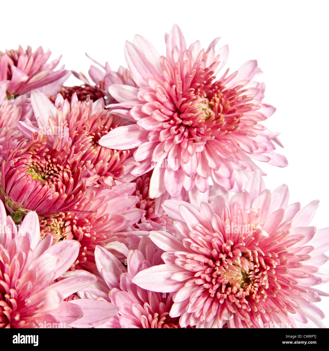 Autumn flowers. Pink chrysanthemums on a white background Stock ...