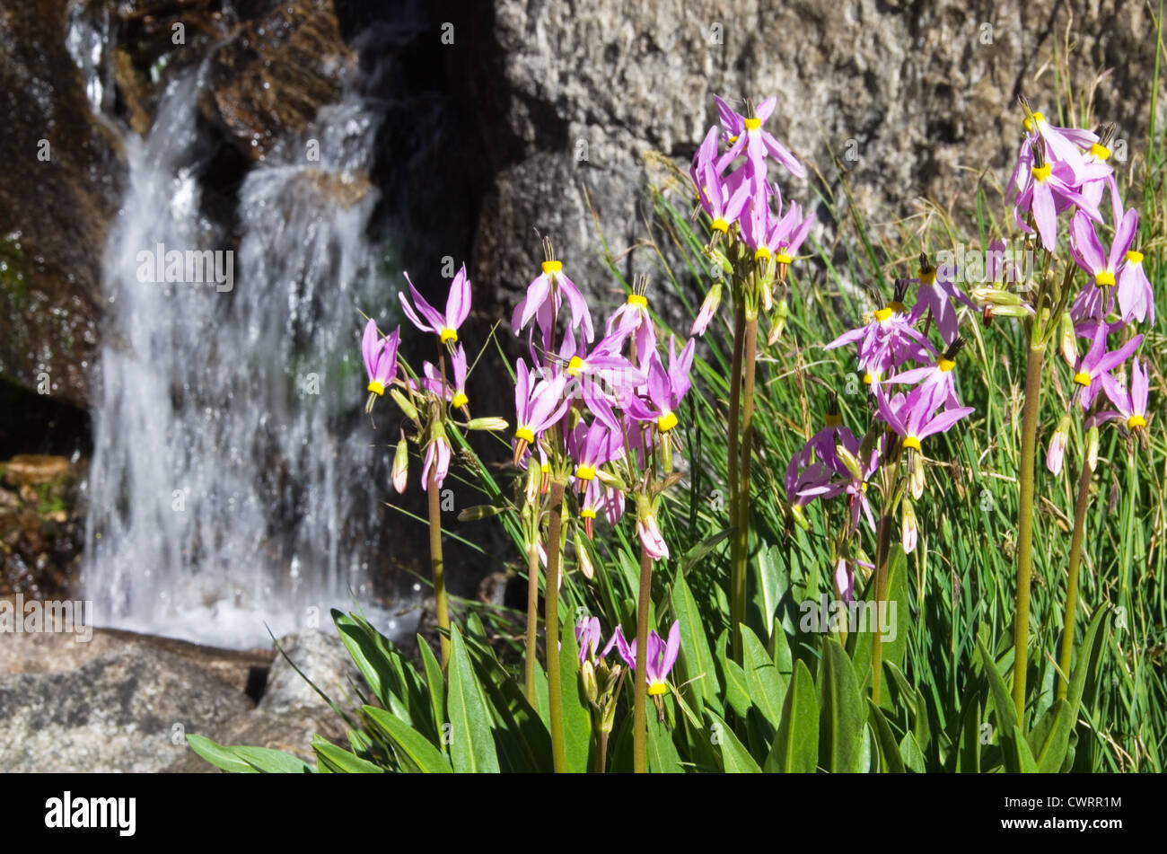 sierra shooting star flowers grow near a small waterfall in the Sierra Nevada mountains of California - Stock Image