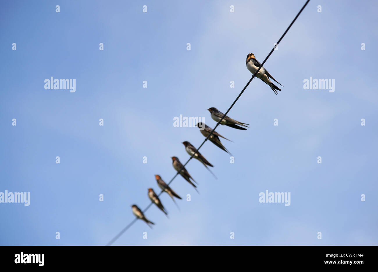 Swallows getting ready to fly away for the winter. - Stock Image