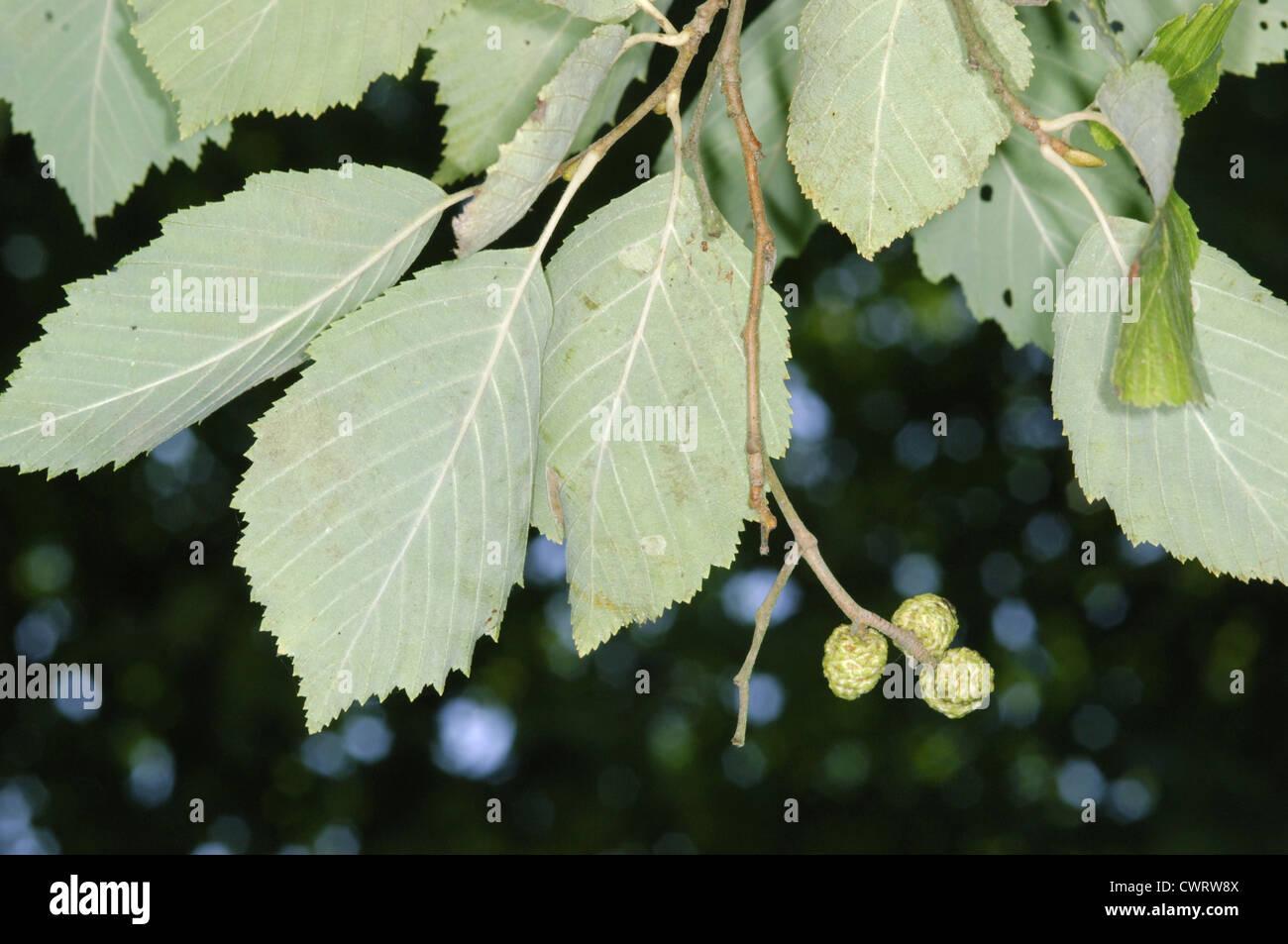 Grey Alder Alnus incana (Betulaceae) Stock Photo