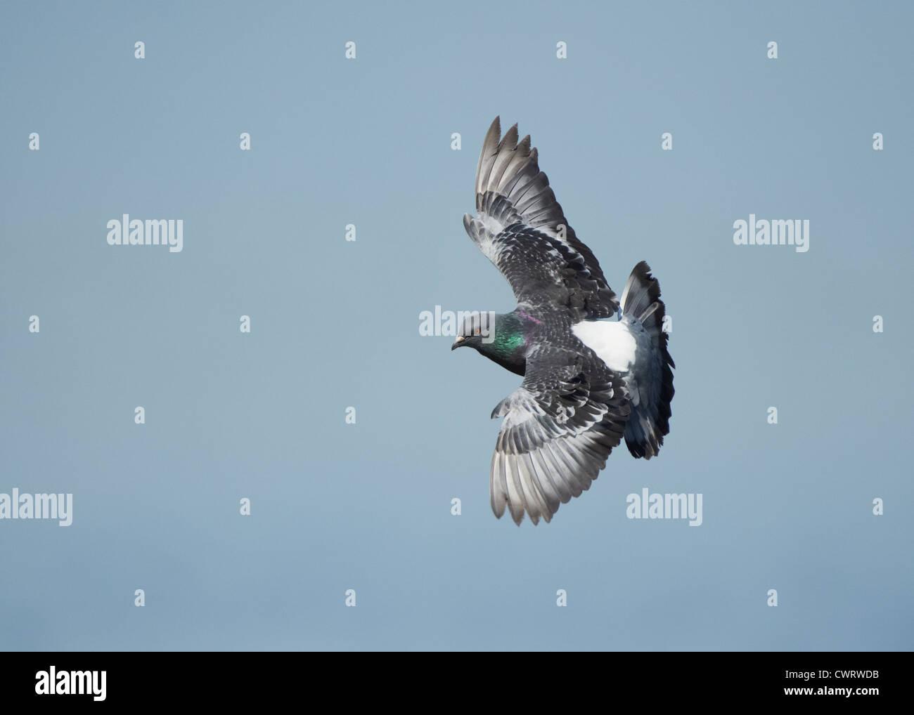 Racing Pigeon Stock Photos & Racing Pigeon Stock Images - Alamy