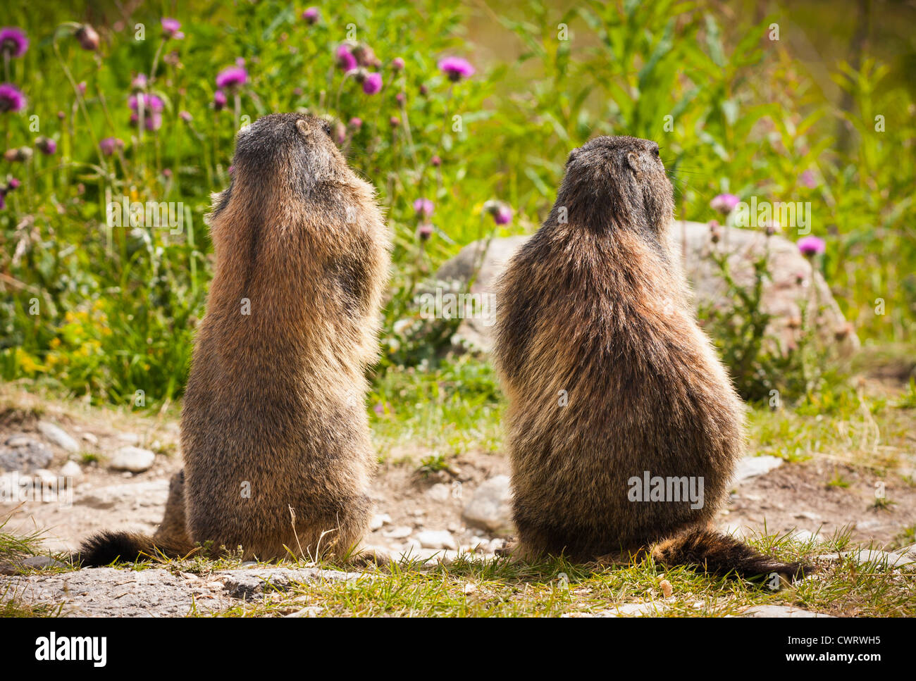 Two marmots waiting patiently for something only they will ever know. The Alps, Saas Fee Switzerland. - Stock Image