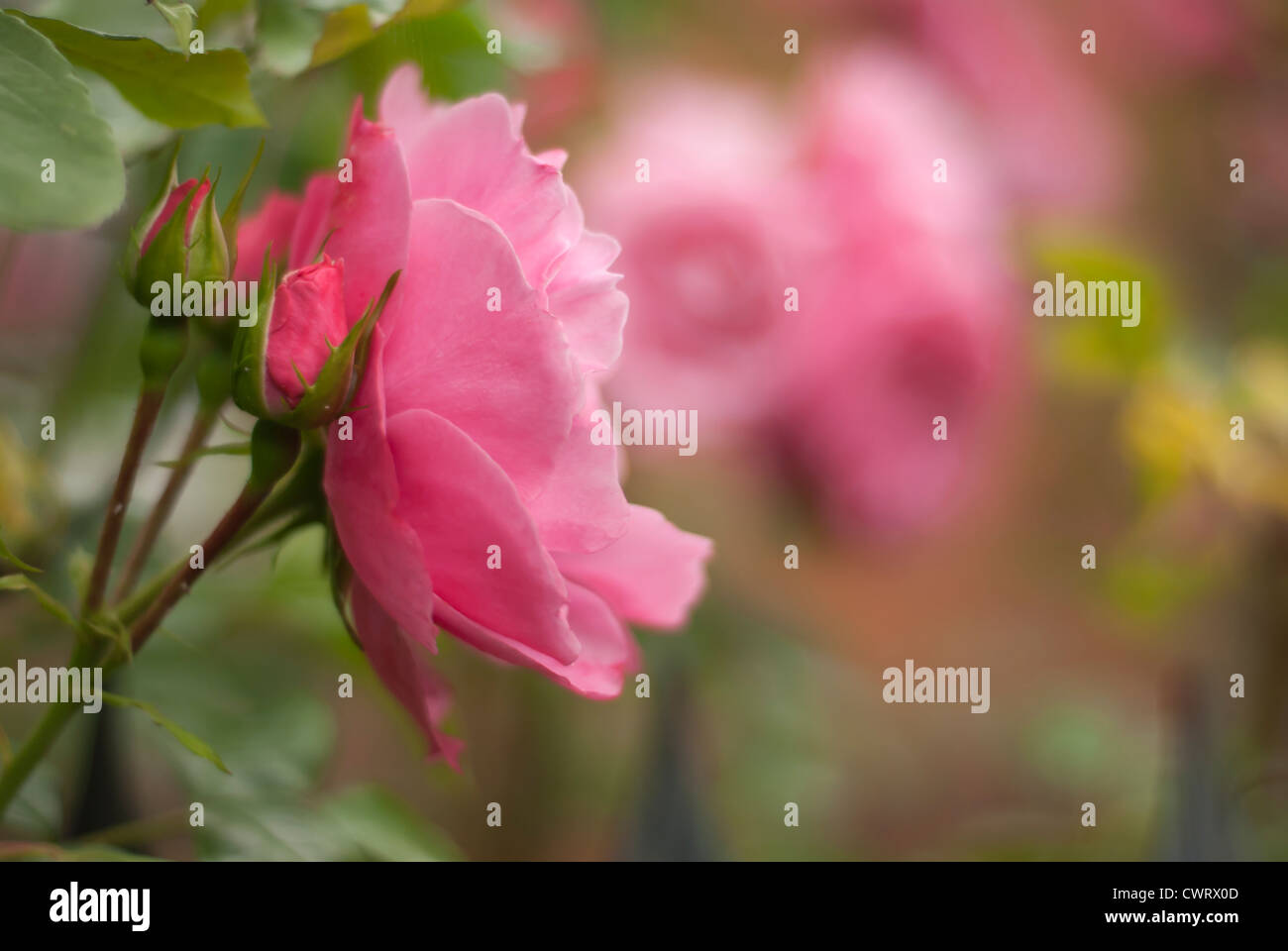 A beautiful pink rose with rosebuds in the foreground,left,, with mysty pink roses in the background. - Stock Image