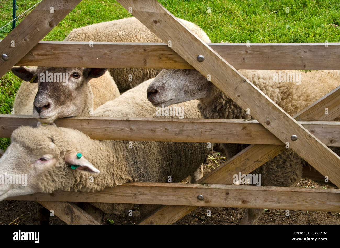 SHEEP ARE LOOKING BEHIND THE FENCE FOR BEING FED IN THE FARM - Stock Image
