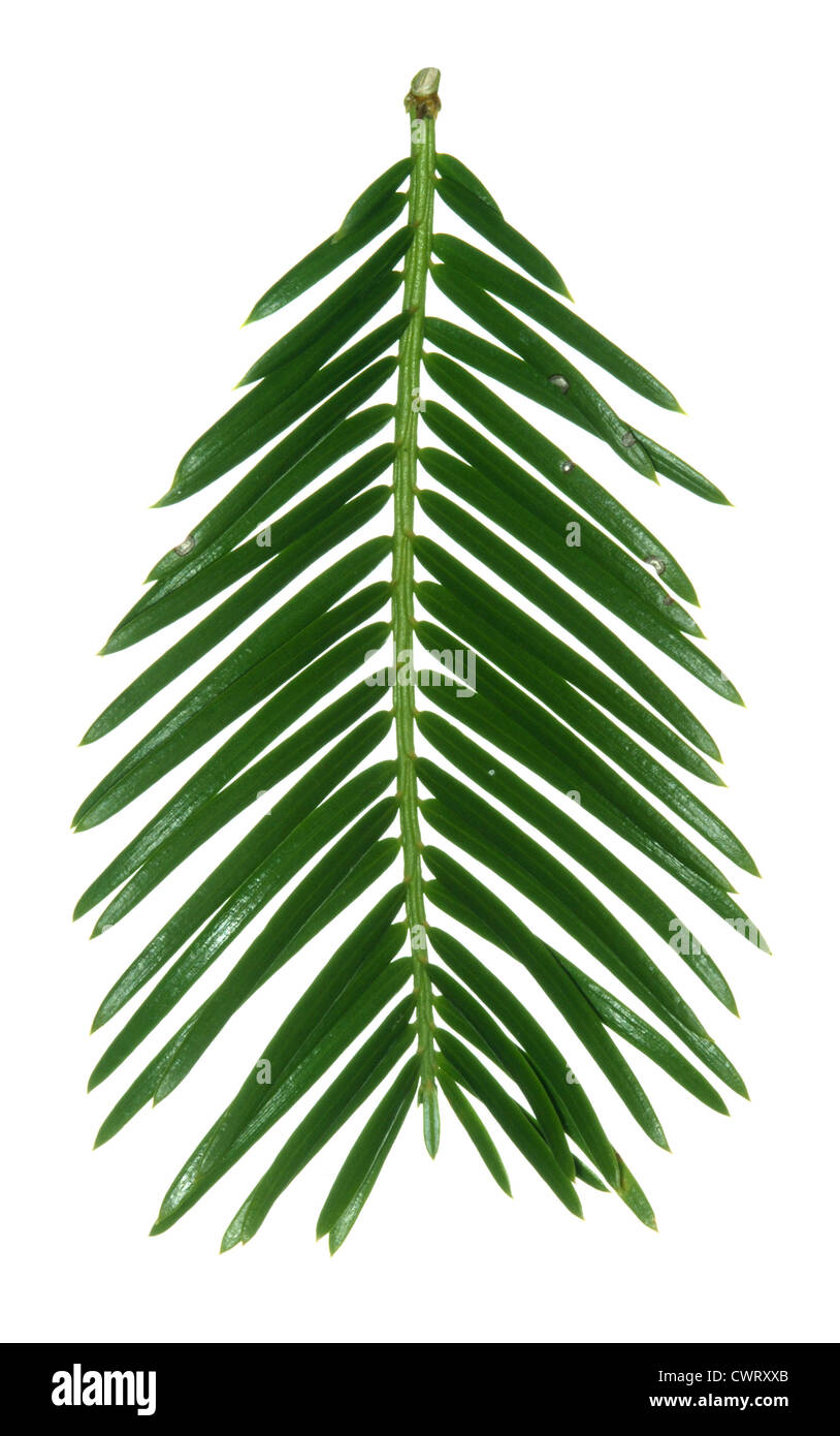 Chinese Plum Yew (Chinese Cow-tail Pine) Cephalotaxus fortunei (Cephalotaxaceae) - Stock Image