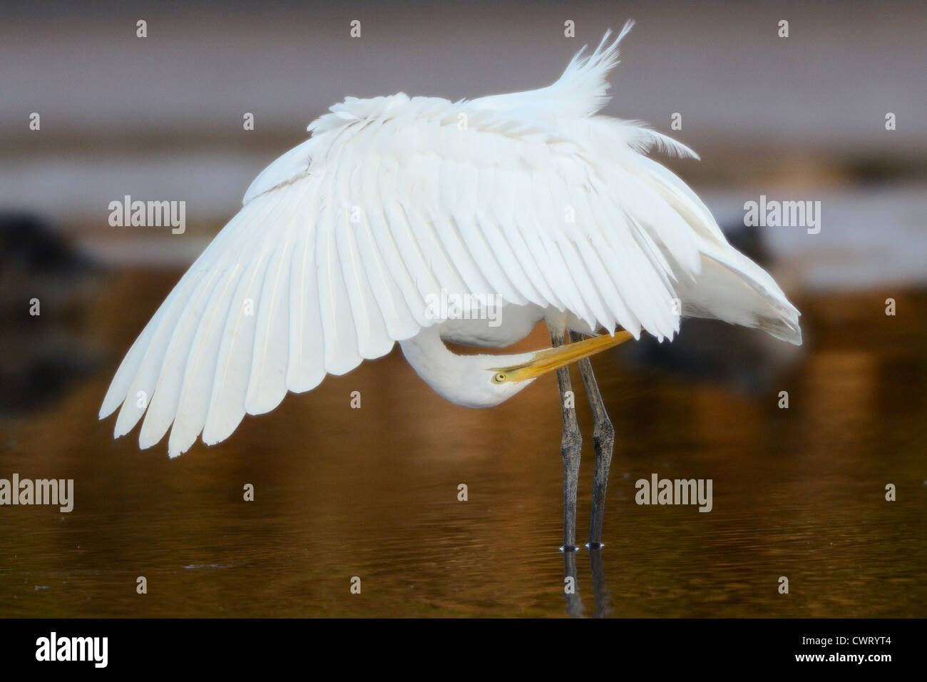 Great Egret preening - Stock Image