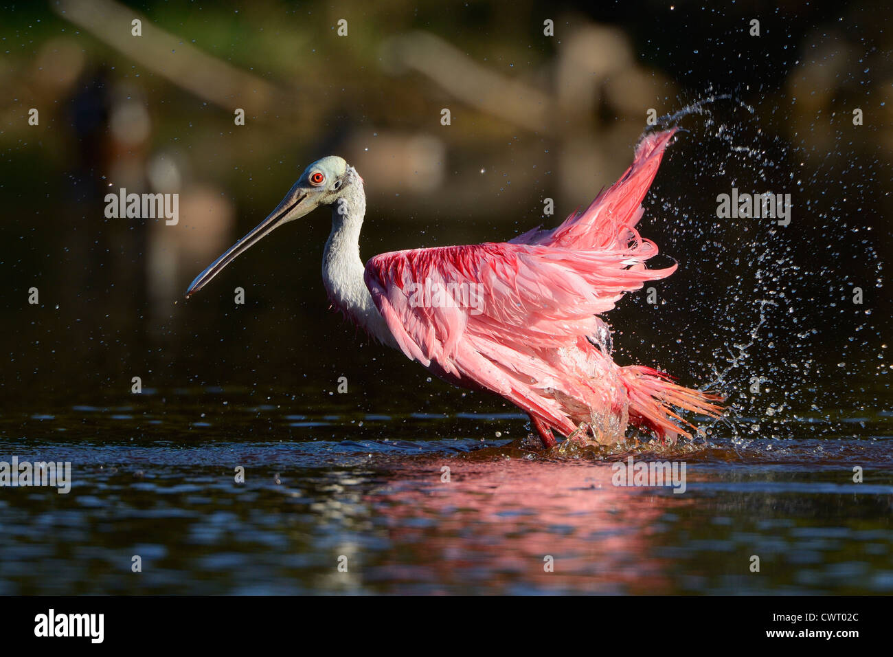 Roseate Spoonbill bathing Stock Photo