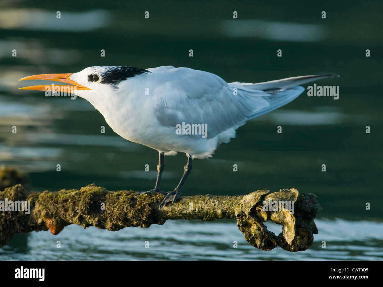 Royal Tern (Sterna maxima) roosting on abandoned dock, Haitises National Park, Dominican Republic - Stock Image