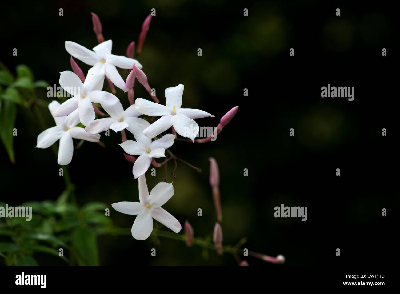 White jasmine stock photos white jasmine stock images alamy many flowered jasmine white jasmine flowers stock image izmirmasajfo